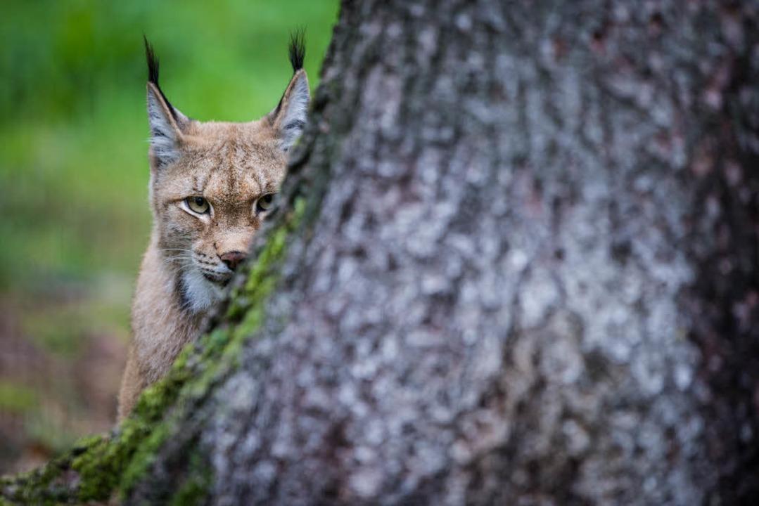 Könnte bald im Südschwarzwald angesiedelt werden: der Luchs.  | Foto: dpa