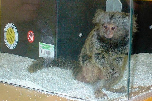 Zollbeamte finden geschützten Affen in Schuhkarton