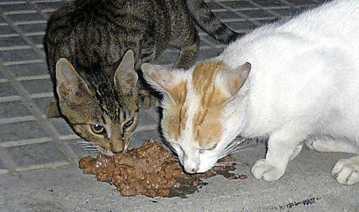 Ausgewilderte Katzen kämpfen ums Überl... eine Mahlzeit aus der Dose ein Fest.   | Foto: privat