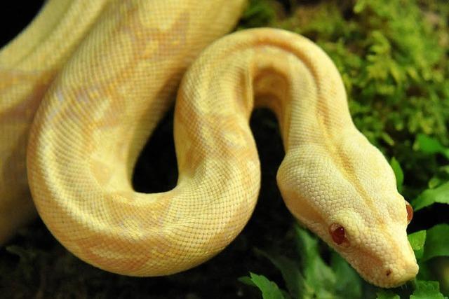 Einbrecher klaut seltene Albino-Python aus Offenburger Tiergeschäft