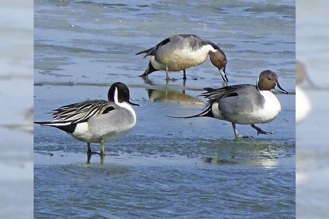 Exkursion des Naturschutzbundes: Wasservögel am Rheinhafen