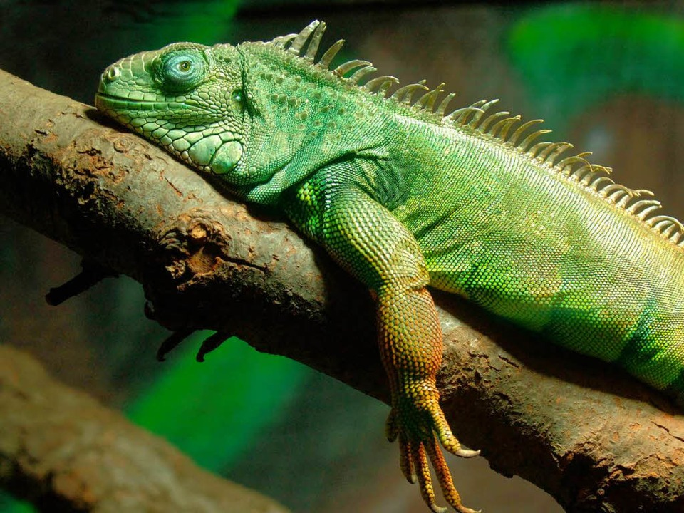 Beliebte Schmuggelware: Leguane.  | Foto: dpa