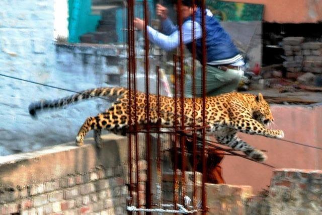 Leopard streunt durch indische Millionenstadt