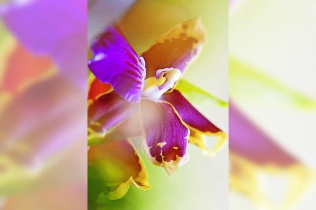 Orchideenausstellung in Lahr: Anregende Schönheit