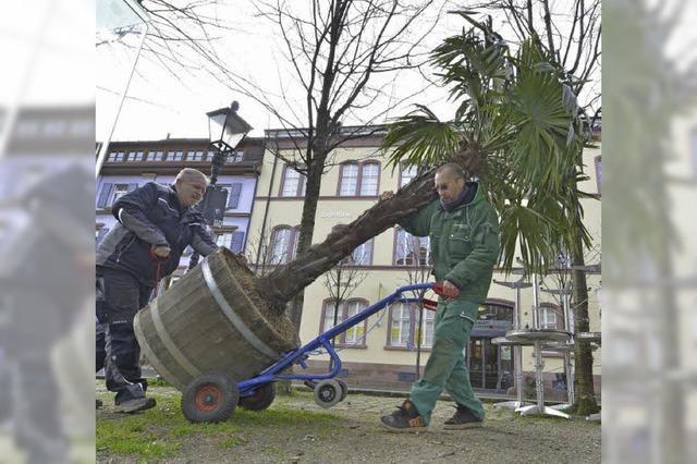 Winter ade – die Palmen sind da! Stadtgärtnerei liefert Pflanzen aus