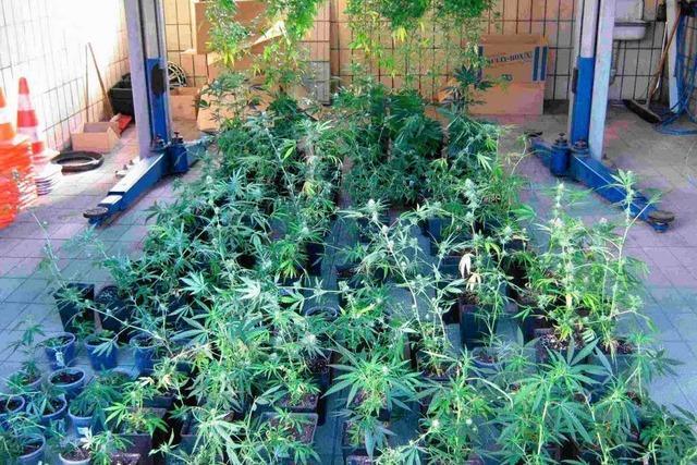 Hanfanbau in großem Stil – Polizei findet 123 Cannabispflanzen