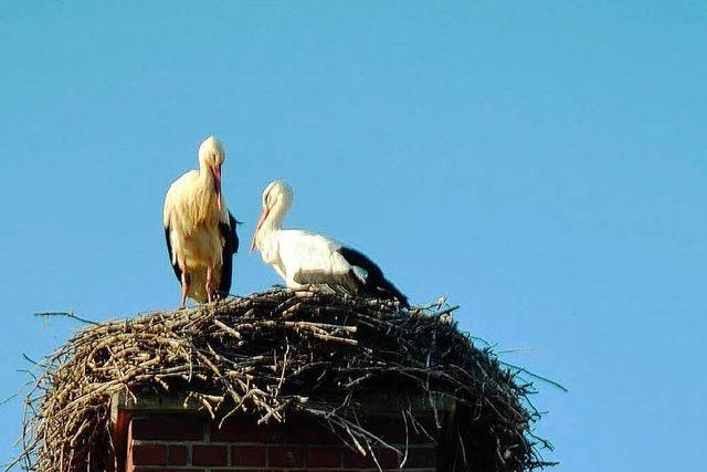 So erbittert kämpfen Störche um ein Nest