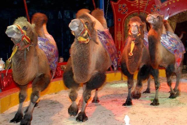 Kamele auf Abenteuertour