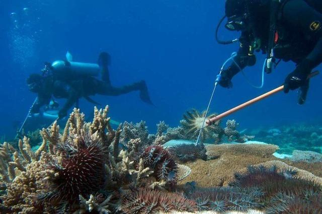Killer-Seesterne setzen Great Barrier Reef zu