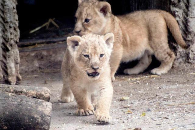 Im Kopenhagener Tierpark wurden vier Löwen getötet