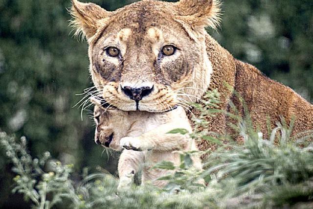 Empörung nach Löwentötung