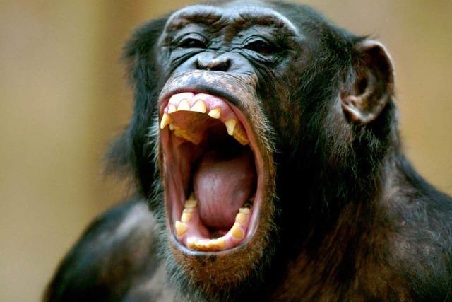 Gähnende Schimpansen