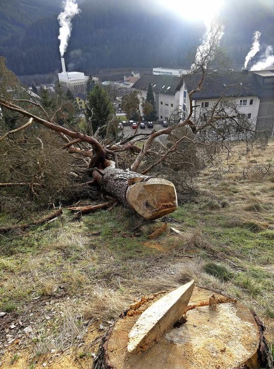 Dieser Baum auf der künftigen Schafwei...fallen, wie von Verwaltung berichtet.   | Foto: Privat