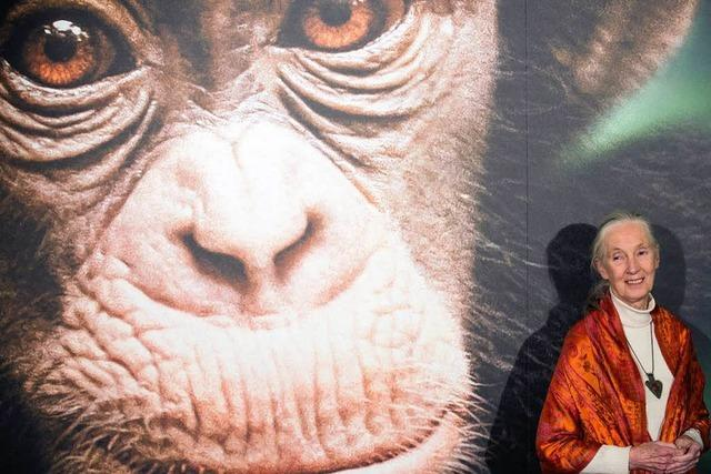 Schimpansen-Forscherin Jane Goodall wird 80