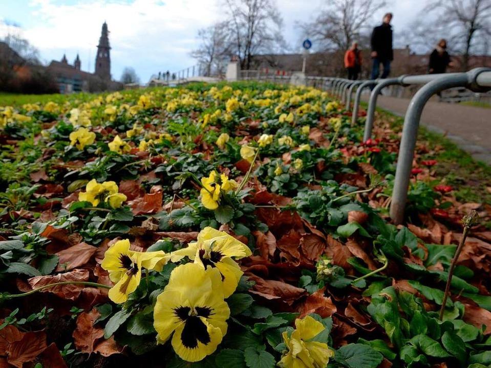 Blüht in Freiburg am Wegesrand: das Stiefmütterchen.  | Foto: dpa