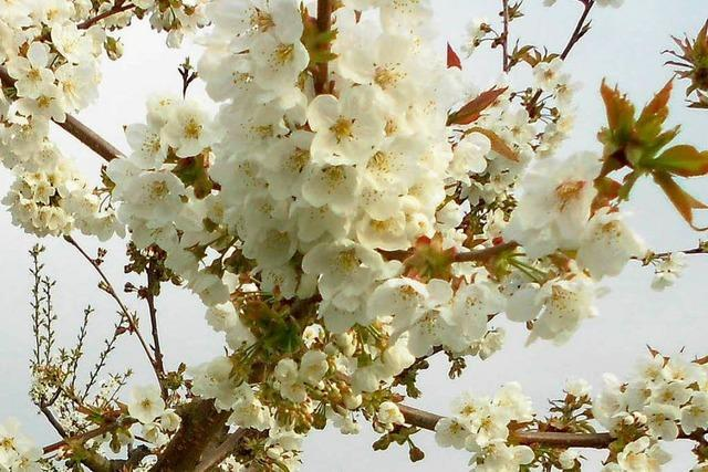 Meer an Kirschblüte
