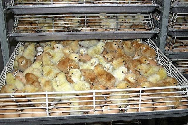 Industrielle Tierhaltung: Bei lebendigem Leib geschreddert