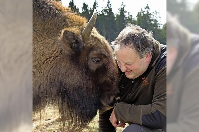 Eine Wisent-Herde lebt frei im Rothaargebirge