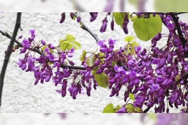 Blüten hängen wie Trauben am Zweig