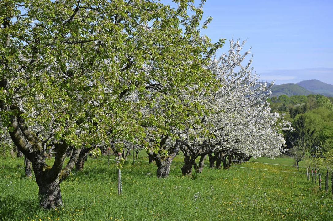 In voller Blüte stehen derzeit die Obstbäume.   | Foto: Gabriele Hennicke