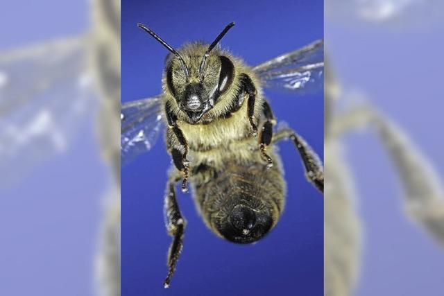 Faszinierende Einblicke in die Welt der Bienen im Weiler Museum