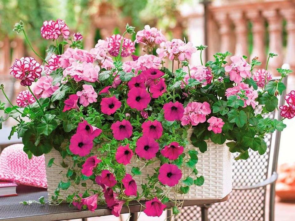 Üppige Blüten verwandeln den Balkon in ein kleines Paradies.  | Foto: Dehner PRO