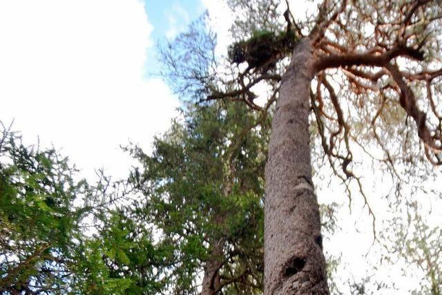 Die älteste Kiefern des Schwarzwalds stehen bei Löffingen