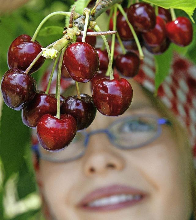 Die Zahl der Kirschbäume in der Region...en 50 Jahren deutlich zurückgegangen.     Foto: ddp