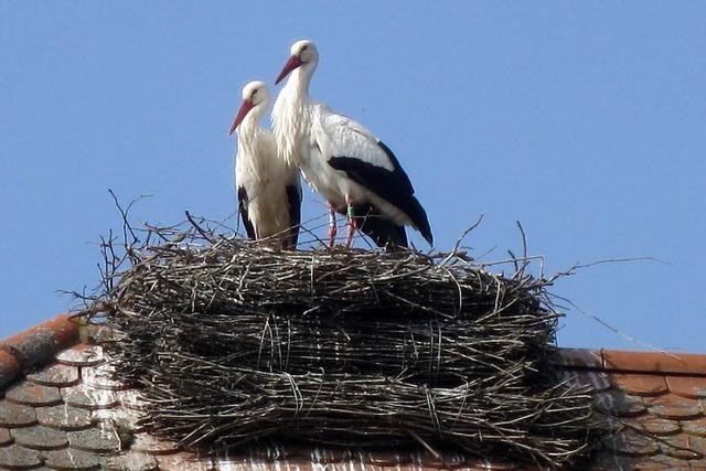Storchenpaar bezieht Nest auf dem Rathaus von Wasenweiler
