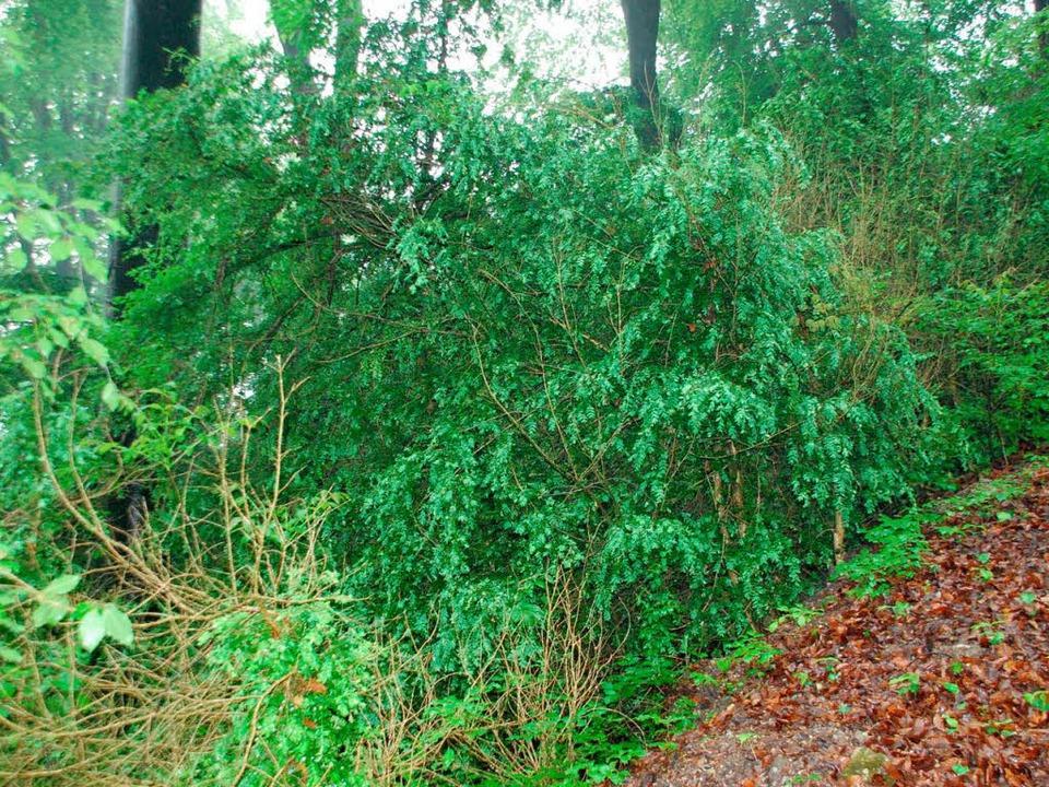 Das satte Buchsgrün gibt es auch im Grenzacher Buchswald zu sehen.  | Foto: Ralf Staub