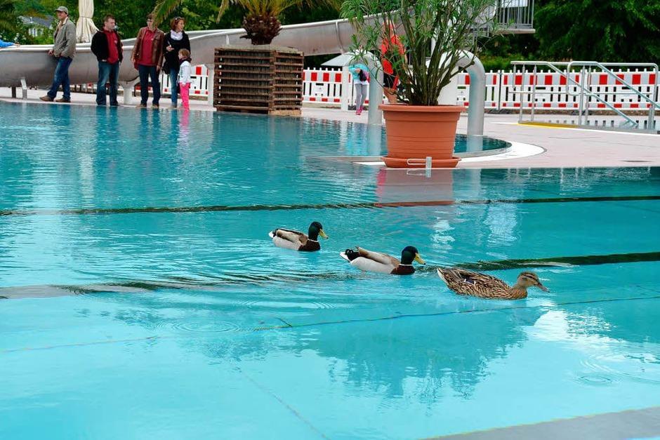 Die ersten Badegäste: Schon vor der Eröffnung testen drei Enten das erneuerte Becken. (Foto: Manfred Frietsch)