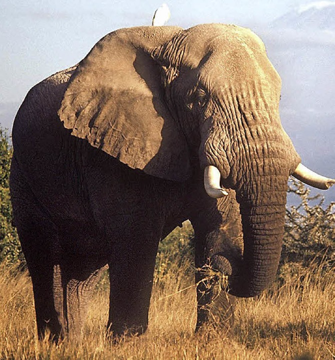 Ein Elefant in einem Nationalpark in Tansania     Foto: dpa
