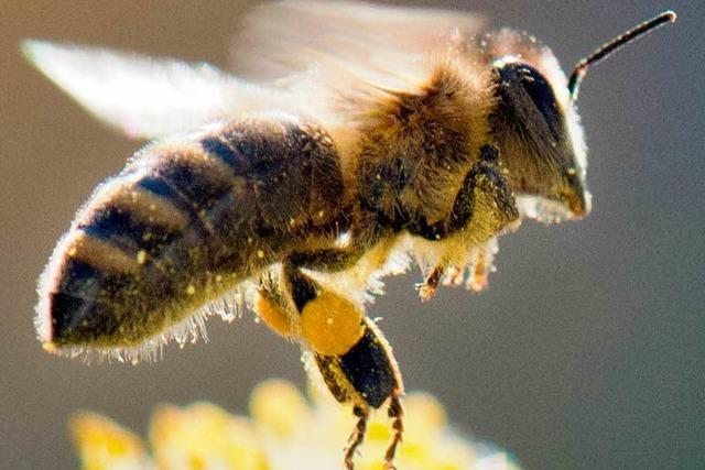 Ausgebüxte Bienenschwärme halten Imkerin auf Trab