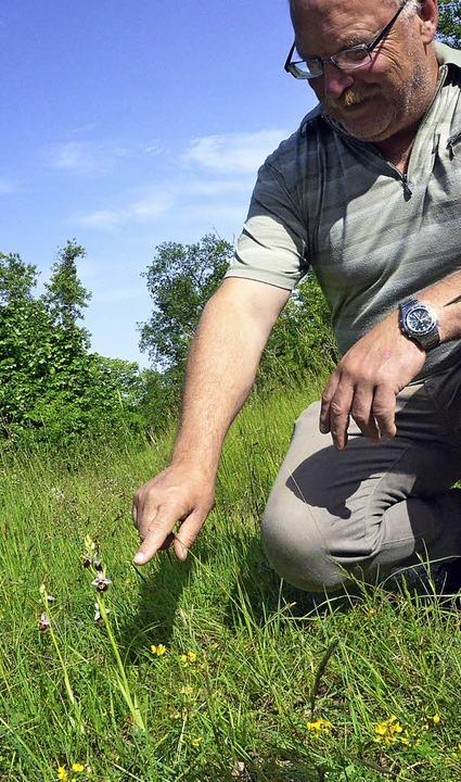 Am Wegrand hat  Wolfgang Sprich neben ...Hopfenklee die Hummelragwurz entdeckt.    Foto: Jochen Fillisch