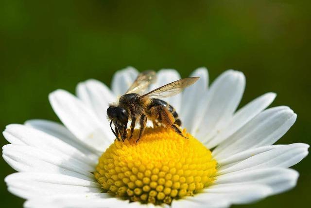 Bienen als Minensucher
