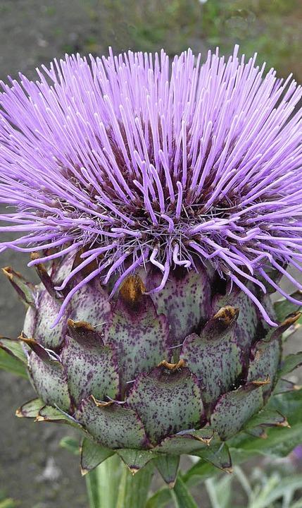 Blüte  | Foto: Gisela Tubes