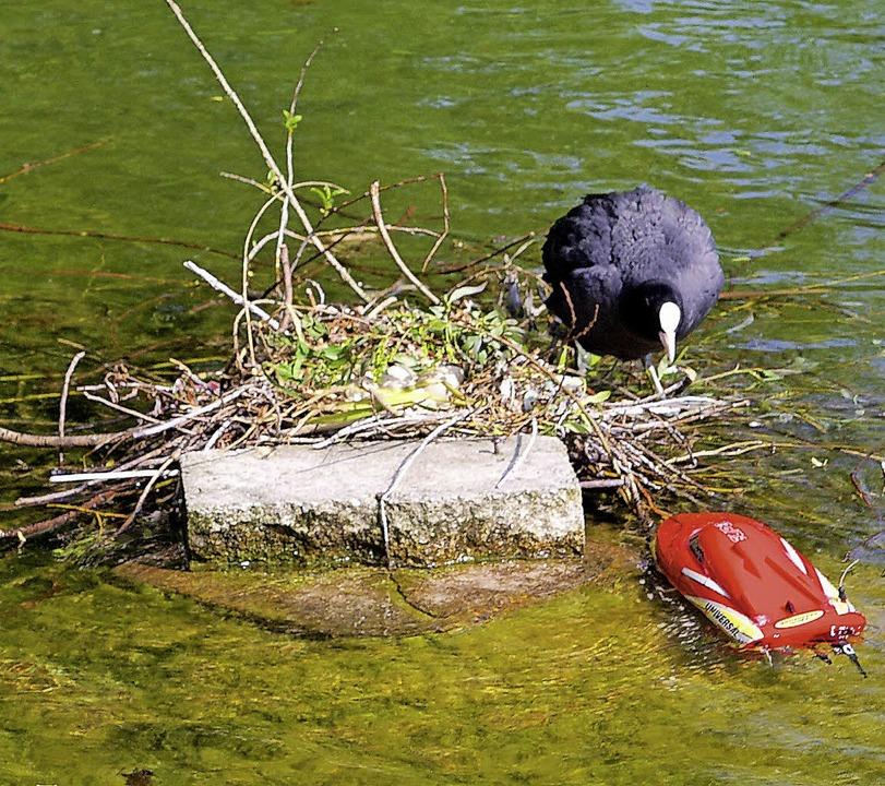 Der rote Störenfried im Teich  | Foto: Zöller