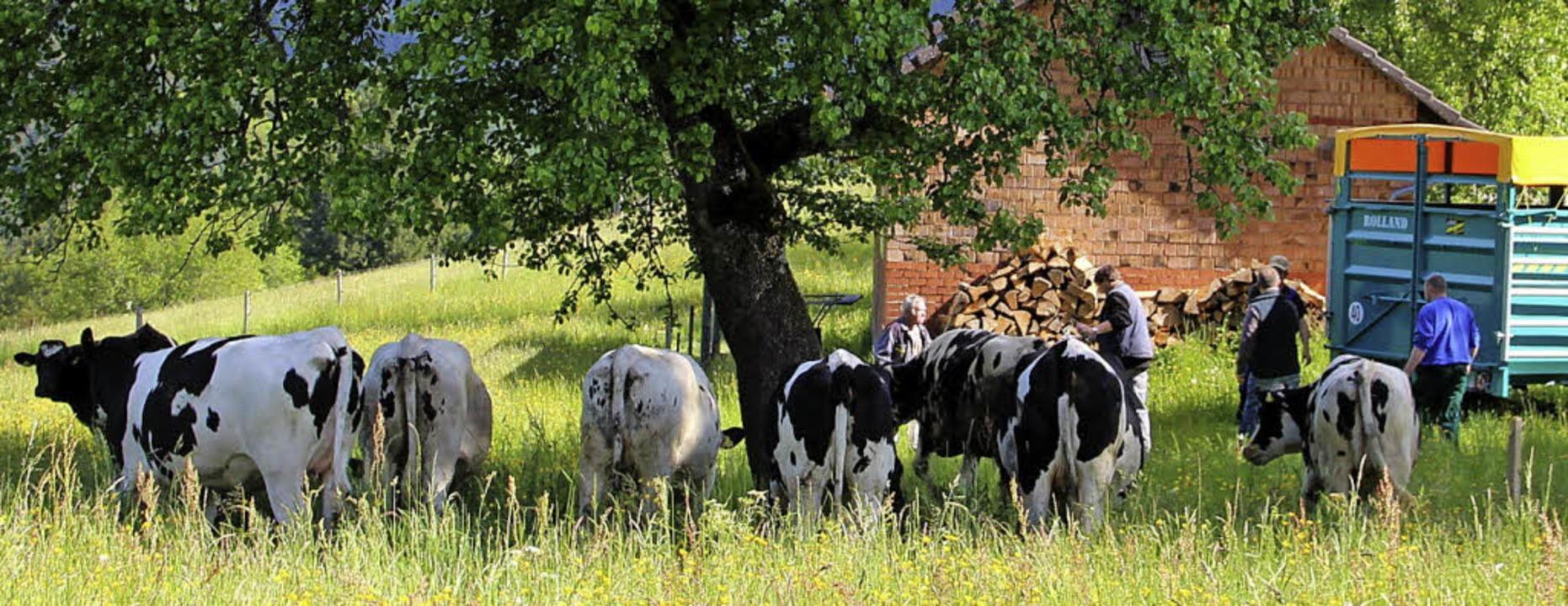 Vom Viehanhänger an die Weide: Auch in...ideauftrieb weitestgehend reibungslos.    Foto: Rolf-Dieter Kanmacher