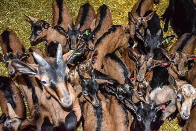 Pioniere: Drei Betriebe steigen auf Ziegenhaltung um
