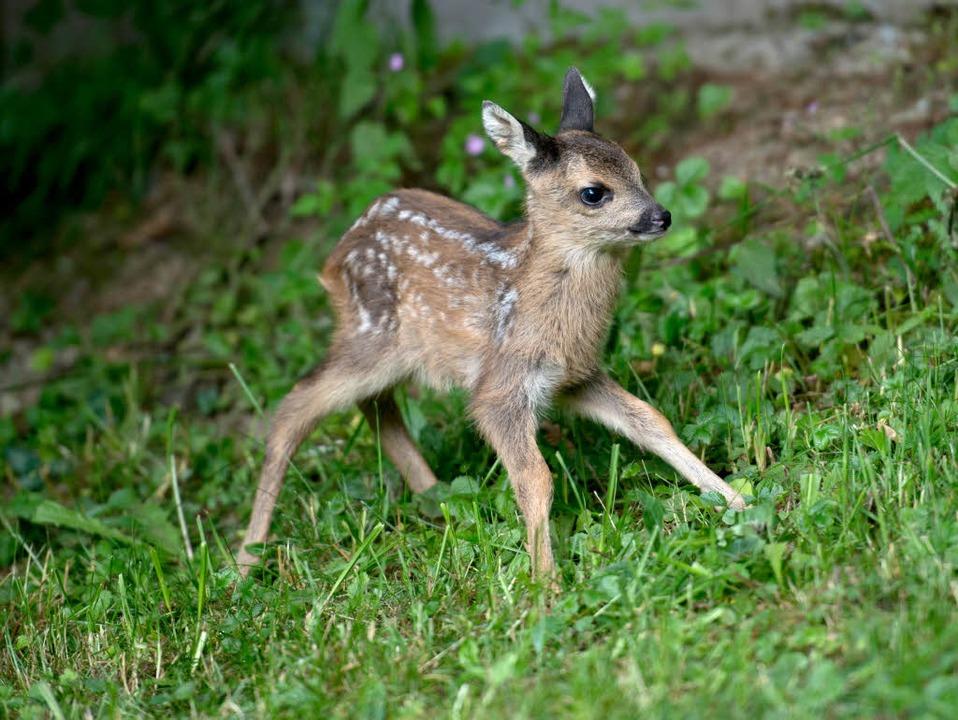 Ohne Mutter hätten die Rehbabys in der Natur nicht überlebt.  | Foto: dpa