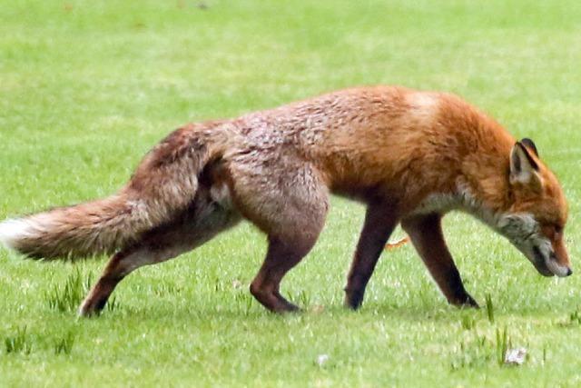 Landwirt entsetzt: Fuchs tötet 80 von 100 Enten
