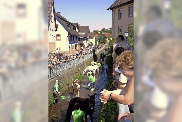 Rosswäsche im Dorfbach - ein besonderes Spektakel in Münchweier