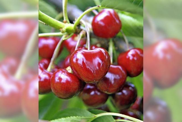OBSTBÄUME: Wenn Früchte fehlen