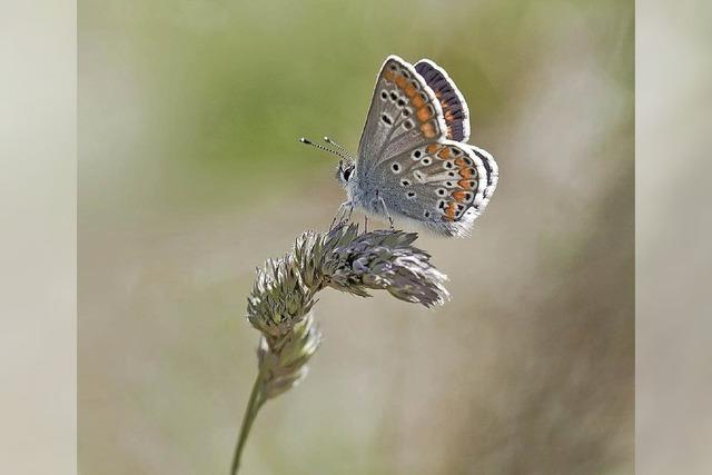 Tagfalter und Nachtschwärmer: Schmetterlingsausstellungen im Haus der Natur am Feldberg