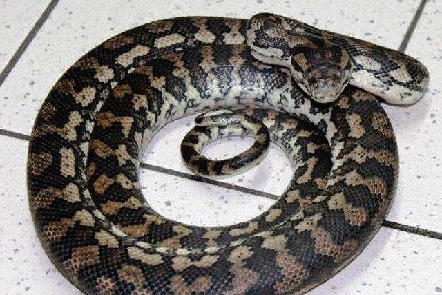 Unbekannter legt Würgeschlangen in Zoogeschäft ab