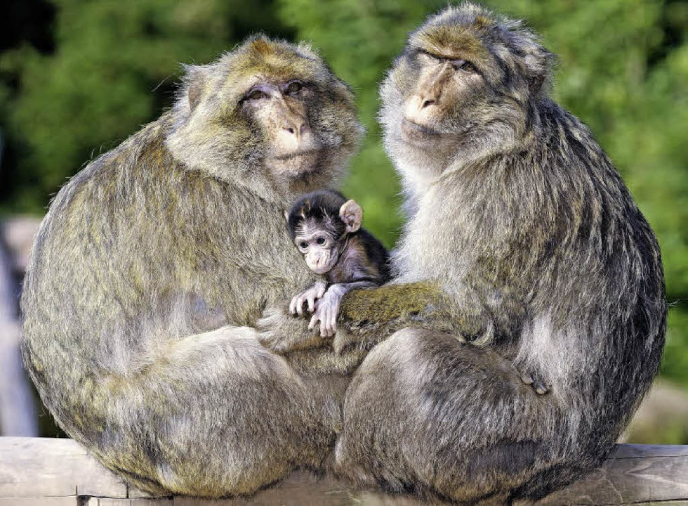 Süß: Affen schützen ihr Baby.  | Foto: PR affenberg