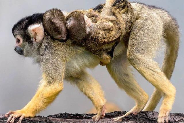 Nachwuchs bei den Äffchen im Basler Zoo