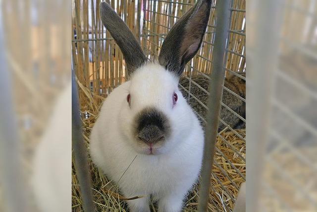 Kaninchen fachmännisch begutachtet