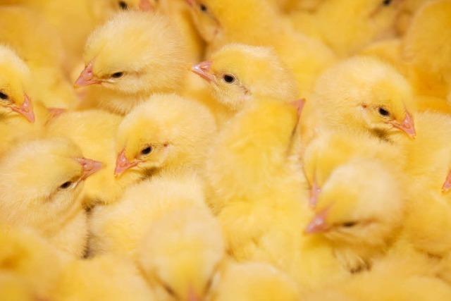 Tote Küken bei der Eierproduktion – muss das sein?
