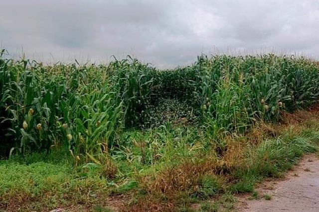 Schneise im Mais – Diebe verhunzen Fest der Schlagerfreunde